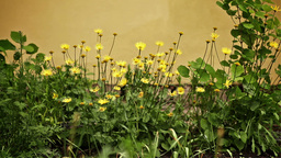 Daisies in Garden Stock Video Footage