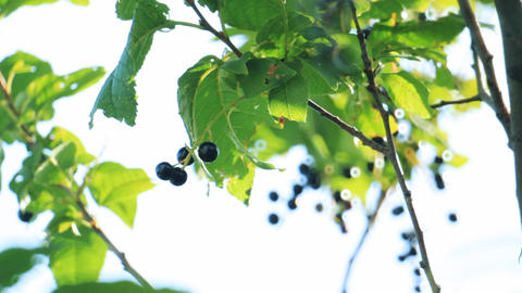 Bird-cherry tree with berries Stock Video Footage