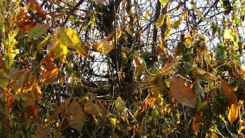 Colouful bush leafs in late autumn dolly shot time Stock Video Footage