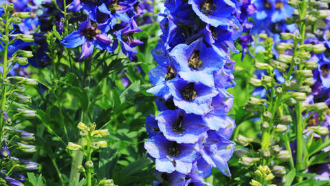 Close-up of Delphinium flowers Stock Video Footage