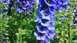 Close-up of Delphinium flowers Footage
