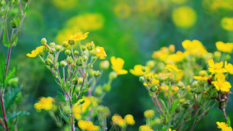 Vibrant yellow buttercup flowers on the meadow Stock Video Footage