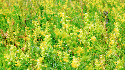 Vibrant yellow flowers Rhinanthus major on the mea Stock Video Footage