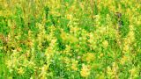 Vibrant yellow flowers Rhinanthus major on the mea Footage