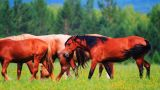 Horses grazing in the meadow Footage
