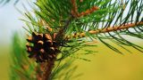 Close-up Of Pine Cone And Needles stock footage