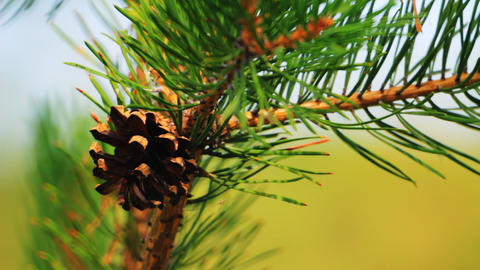 Close-up of pine cone and needles Stock Video Footage