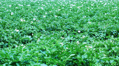 Potato field with flowers Stock Video Footage