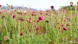 Close-up of the thistle in meadow Footage