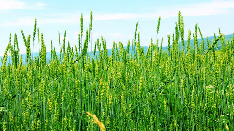 Spikes of wheat rustling in the wind Stock Video Footage