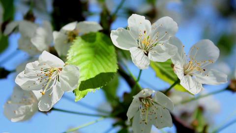 Flowering tree 2 Stock Video Footage