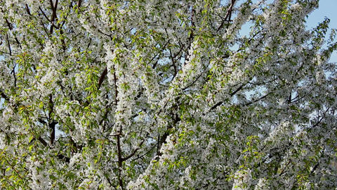 Flowering tree 4 Stock Video Footage