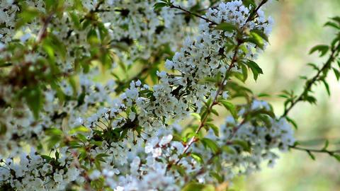 Flowering tree 6 Stock Video Footage