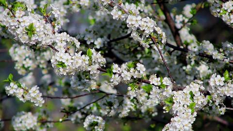Flowering tree 8 Stock Video Footage