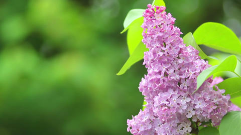 Lilac 2 Stock Video Footage