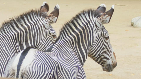 Two zebras Footage