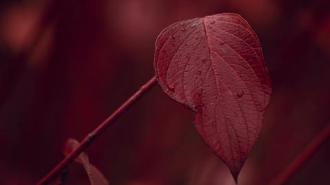 Close-up Shot Of Autumn Fall Red Leaf stock footage