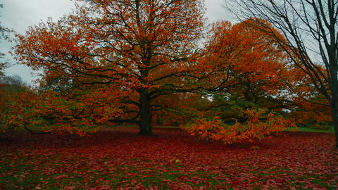 Wide Panoramic Shot Of An Autumn Fall Tree stock footage