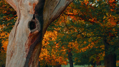 Dead Tree Bark In Autumnal Park stock footage