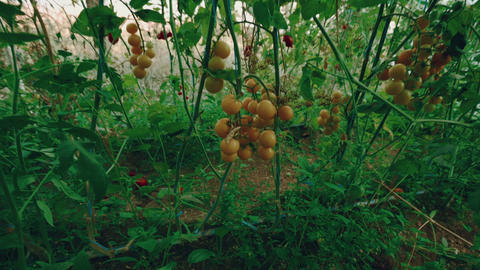 Crane-Jib Shot of Local Produce Organic Yellow Tomatoes with Vine and Foliage in Footage