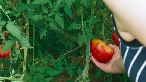 Shot of Young Lady Checking Ripeness of Local Produce Organic Tomatoes in a Gree Footage