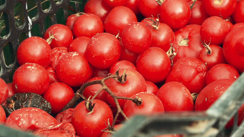 Slider Shot of Local Produce Organic Cherry Tomatoes on a Green Basket Footage