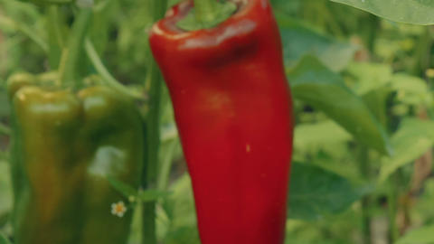 Slider Zoom Shot of Local Produce Organic Green and Red Peppers with Foliage Footage