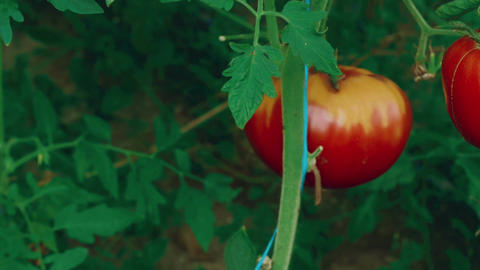 Slider Zoom Shot of Local Produce Organic Tomatoes with Vine and Foliage in Gree Footage