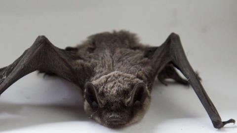 Bat Footage