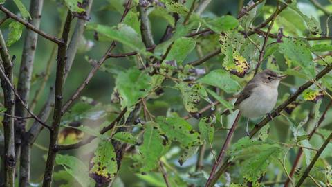 Garden Warbler stock footage