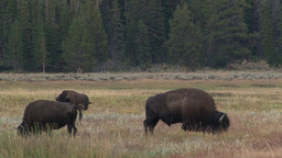 American Bison grazing Footage