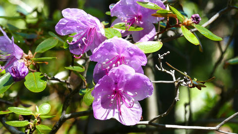 rhododendron flowers close up Footage