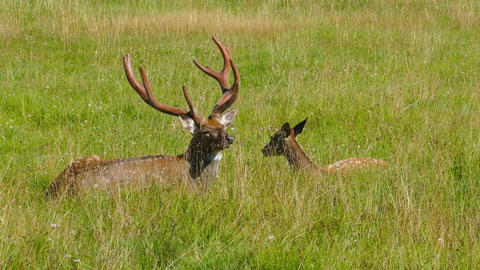 Male and female sika deer lying in the grass, 4k Footage