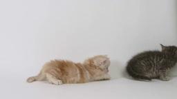 尻尾で遊ぶ子猫 Footage