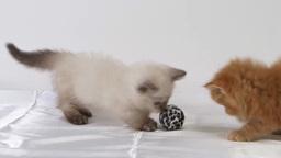 ボールで遊ぶ2匹の子猫 stock footage