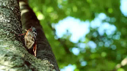 木漏れ日と蝉 Footage