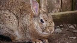 牧場のウサギ Footage