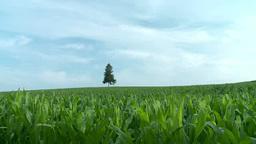 トウモロコシ畑越しの一本の木 Footage