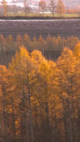 黄葉のカラマツと秋の丘 Footage
