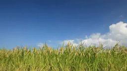 風に揺れるコシヒカリの稲穂と鳶 Footage