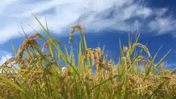 風に揺れるコシヒカリの稲穂 Footage