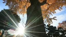 イチョウの大木と木もれ日 Footage