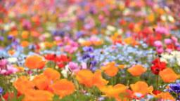 アネモネとカリフォルニアポピーとネモフィラなどの花畑 Footage