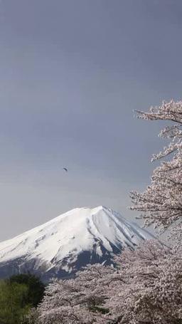 ソメイヨシノと富士山と鳶 影片素材