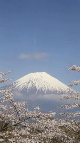 ソメイヨシノと富士山と飛行機雲 影片素材