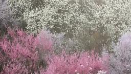 桜と桃とコブシなどの花の林と木もれ日 Footage