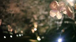 ソメイヨシノのアップと並木のライトアップ 影片素材