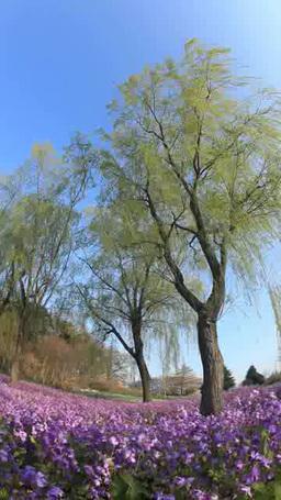 ムラサキハナナなどの花畑とソメイヨシノと風に揺れる柳 Footage