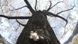 幹から咲いたソメイヨシノと木もれ日 Footage