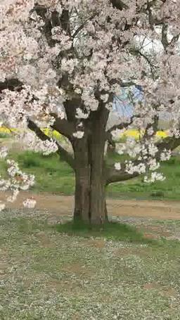 ソメイヨシノの桜吹雪と菜の花畑 影片素材